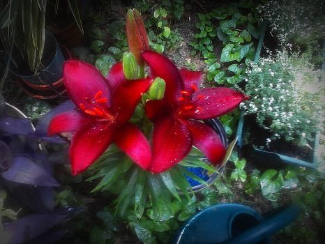 Red Lilies by ChevelleRose