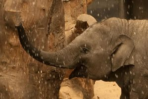 Young elephant water fun by steppeland