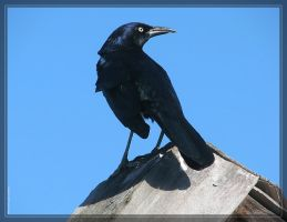 Common Grackle PSS50749 by Cristian-M