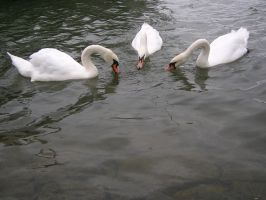 Animals - Swans 03 by Stock-gallery