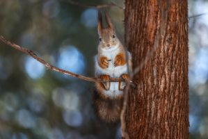 squirrel on a branch by fly10