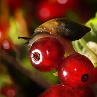 The snail and a red currant color by AndyGS