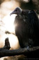 Hooded Vulture by amrodel