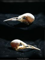Bird Skulls Stock 14 by emothic-stock