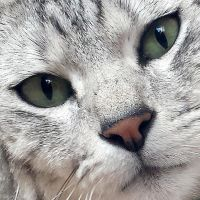 Ozzy the Ocicat by Rollo-Tomassi