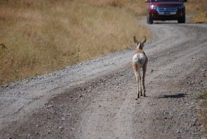 Pronghorn on the Road 001 by Mad-Willy