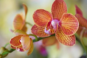 Orchid flowers 14 by a6-k