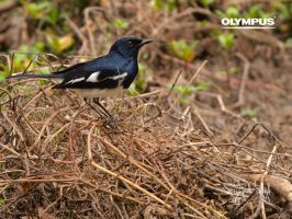 P5036036 Oriental Magpie Robin by jitspics