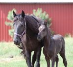 Mare and Foal 41 by MountainViewStock