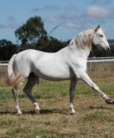 Andalusian stallion Spanish walk 1 by xxMysteryStockxx