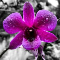 Purple Orchid after rain by wheeqo