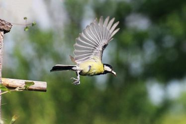Great tit taking flight by sourpepper