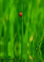 Lady bug by pandjimura