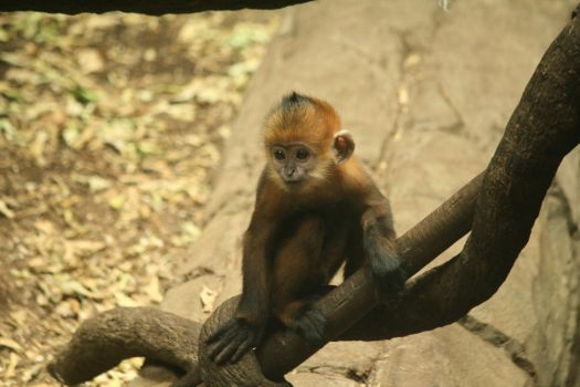 Baby Monkey by FantasyDesignStock2