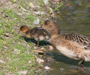 Wigeon parenting by TomiTapio