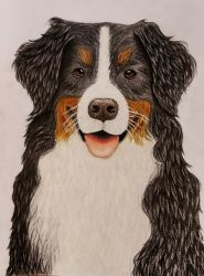 Bernese mountain dog by TheClumsyFellow