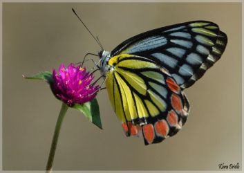 Indian beautiful butterfly by KlaraDrielle