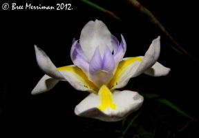 Native Iris II by BreeSpawn