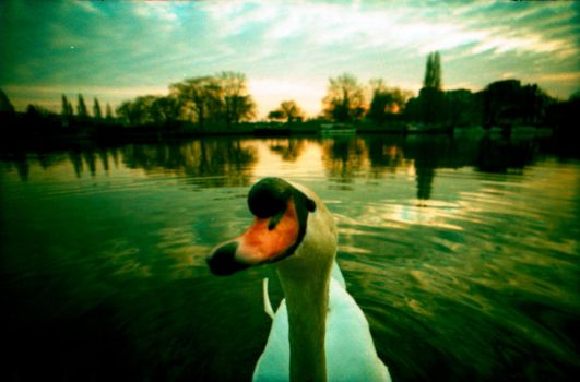 SWAN by Lydiapourmand