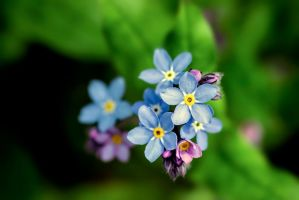 first forgetmenots of 2014 by blackasmodeus