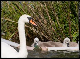 Swan and Cygnets by ironiclensflare