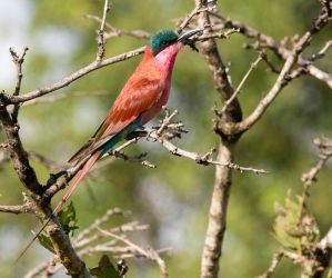 Bee Eater by Bennie69