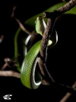 Red-tailed Racer or grey-taile by jitspics