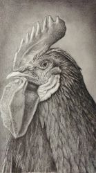 Chicken portrait  by niferdil