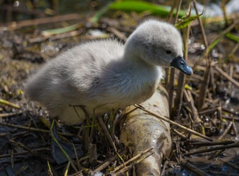 Starting Young! Cygnet and bottle! by Mincingyoda
