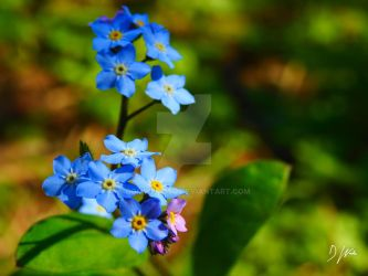 Forget-Me-Nots by domwlive