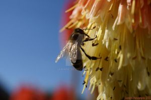 Honey Bee by Lunapic
