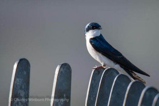 Tree Swallow by CharlesWb