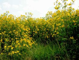 Field of Yellow Flowers 7 by FairieGoodMother
