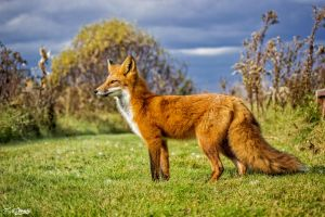 My beautiful wild fox friend Ginger 93 by Nini1965