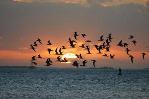 Sunset Flock by Focus-Fire