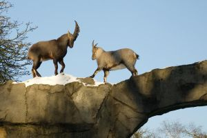 Alpine Ibex - Wrestling or courting? -1of6 by steppeland