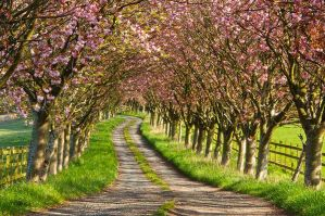 Cherry Avenue by taffmeister