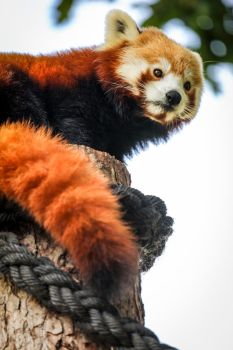 Red Panda by Wivelrod