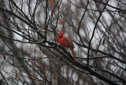 Winter Cardinal by MillyT