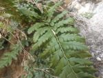 Polystichum aculeatum by mossagateturtle