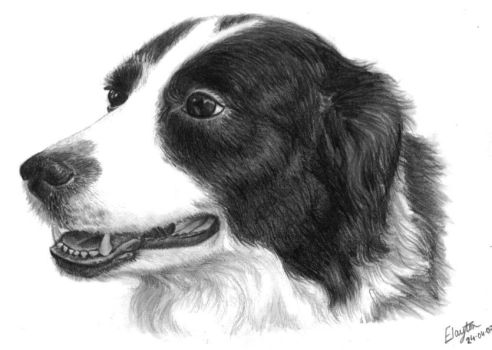 Border Collie by nobodysghost