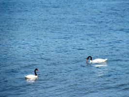 swans in blue by glasschild