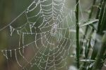 Spiders do in Morning Dew by BlueDragonRose