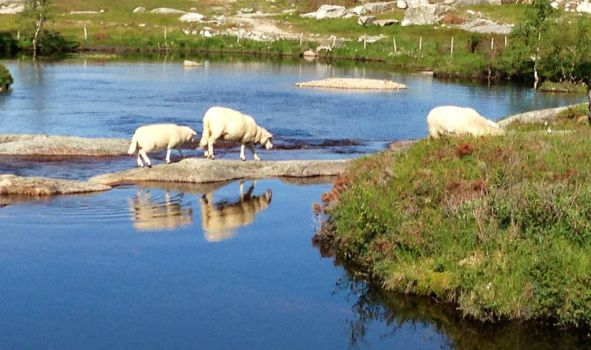 Sheep crossing the river by T2norway