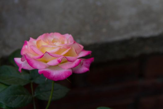 Calm Rose by Anonimus79