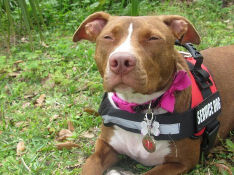 Pit Bull Service Dog Stock by WingedWolfofHope