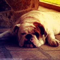 My Bulldog by raimundogiffuni