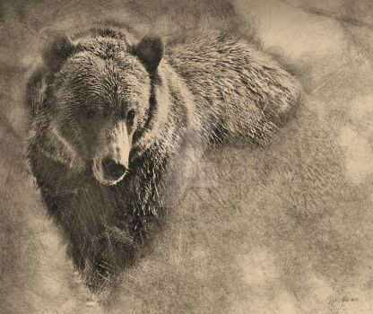 Grizzly BEar Pencil Illustration by wmartin1963