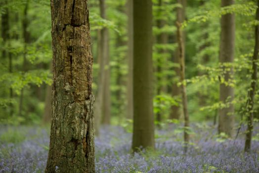 Blue Forest Hallerbos 018 by ISOStock