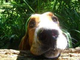 Fred the Basset Hound by artloverrsnp